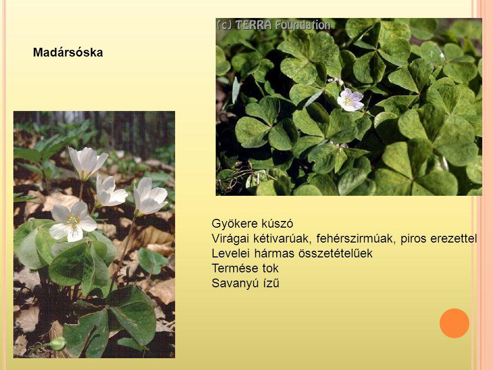 Madársóska Gyökere kúszó Virágai kétivarúak, fehérszirmúak, piros erezettel Levelei hármas összetételűek Termése tok Savanyú ízű