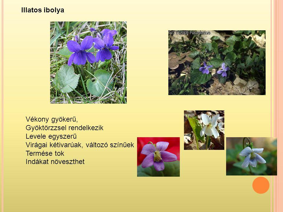 Vékony gyökerű, Gyöktörzzsel rendelkezik Levele egyszerű Virágai kétivarúak, változó színűek Termése tok Indákat növeszthet Illatos ibolya