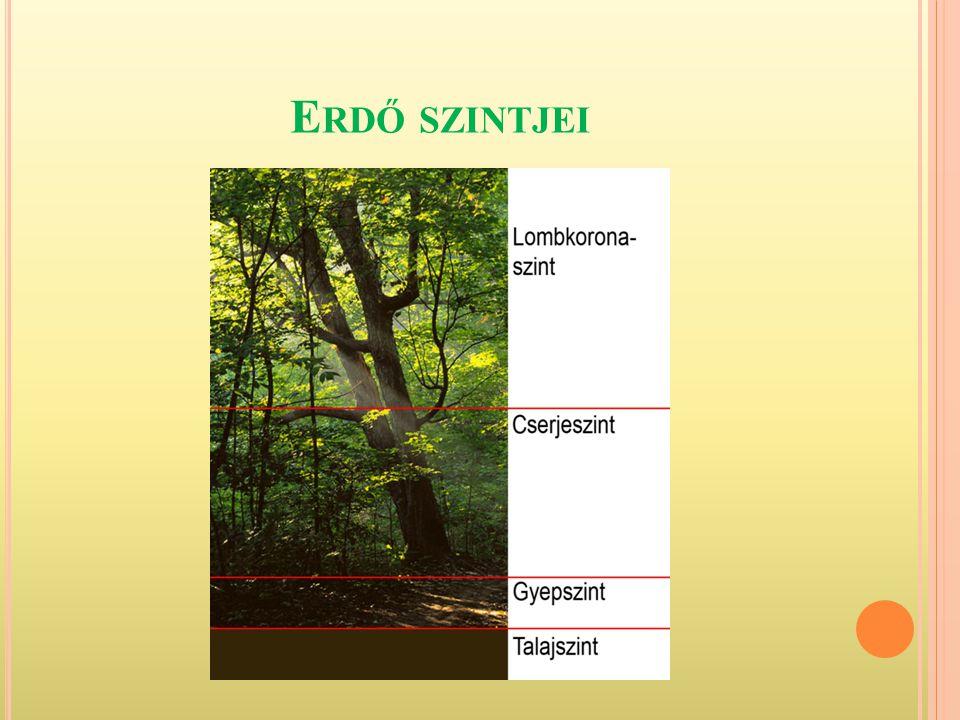 S ZINTEK AZ ERDŐBEN 6.) A növények - fényhez igazodnak, 7.) A Talaj felszínén a mohaszint: - zuzmók és mohák.
