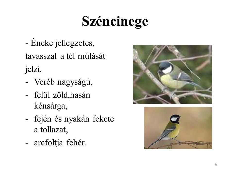 6 Széncinege - Éneke jellegzetes, tavasszal a tél múlását jelzi. -Veréb nagyságú, -felül zöld,hasán kénsárga, -fején és nyakán fekete a tollazat, -arc