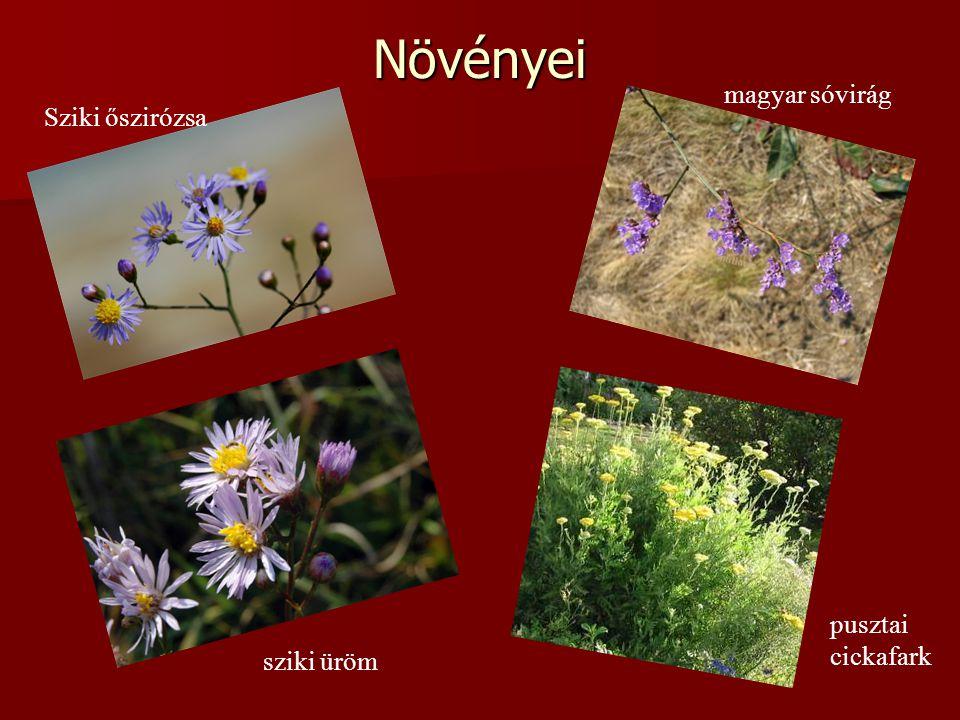 Növényei Sziki őszirózsa magyar sóvirág sziki üröm pusztai cickafark