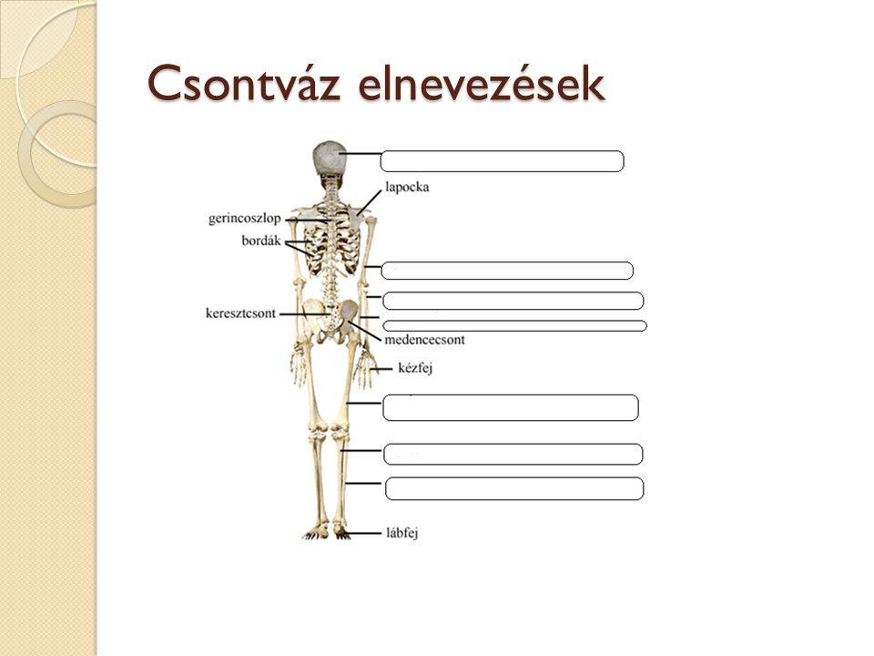 Csontváz elnevezések