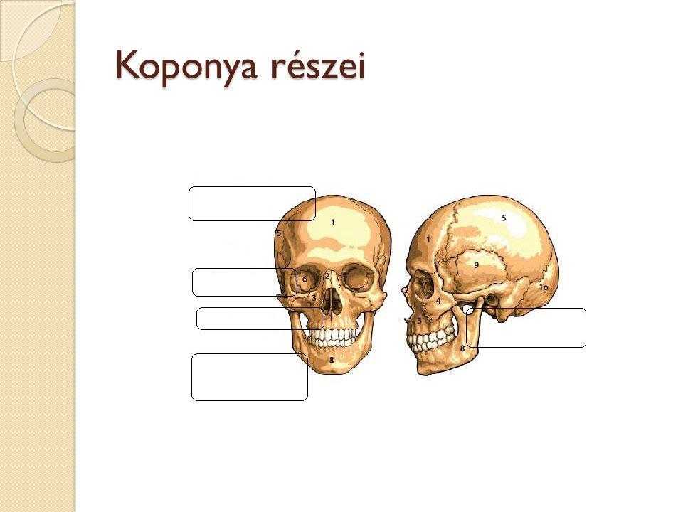 A csont szerkezete