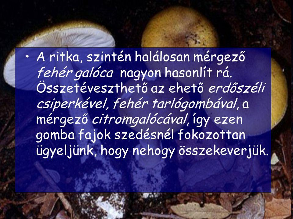 A ritka, szintén halálosan mérgező fehér galóca nagyon hasonlít rá. Összetéveszthető az ehető erdőszéli csiperkével, fehér tarlógombával, a mérgező ci