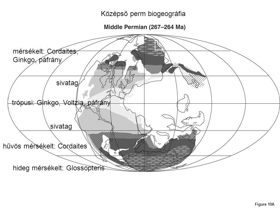 Figure 10A Középső perm biogeográfia hideg mérsékelt: Glossopteris hűvös mérsékelt: Cordaites sivatag trópusi: Ginkgo, Voltzia, páfrány sivatag mérsék