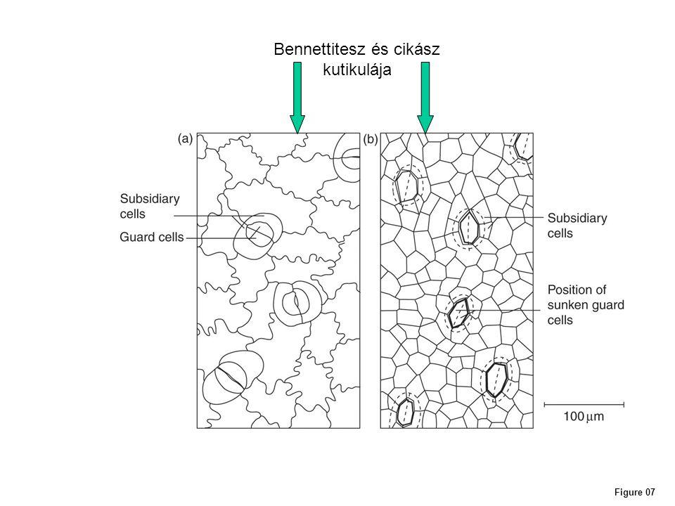 Figure 07 Bennettitesz és cikász kutikulája