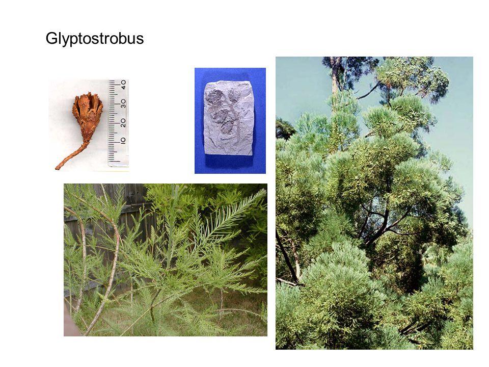 Glyptostrobus