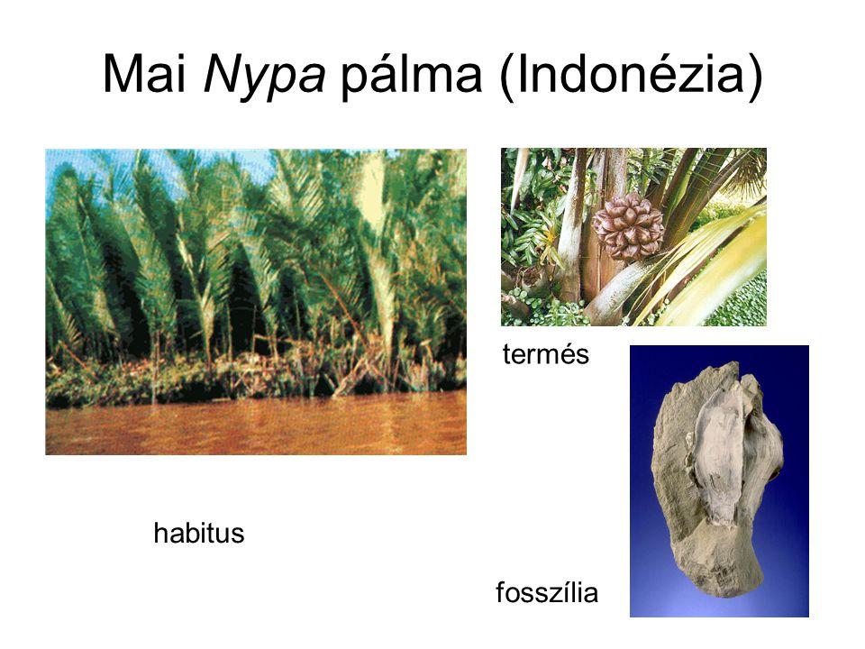 Mai Nypa pálma (Indonézia) habitus termés fosszília