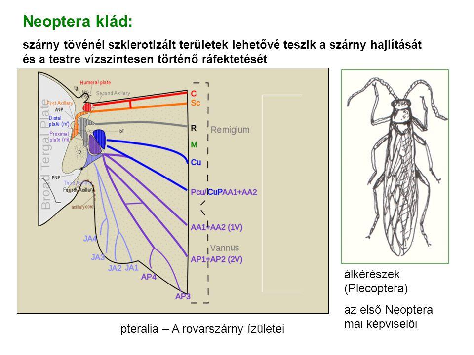 pteralia – A rovarszárny ízületei Neoptera klád: szárny tövénél szklerotizált területek lehetővé teszik a szárny hajlítását és a testre vízszintesen t