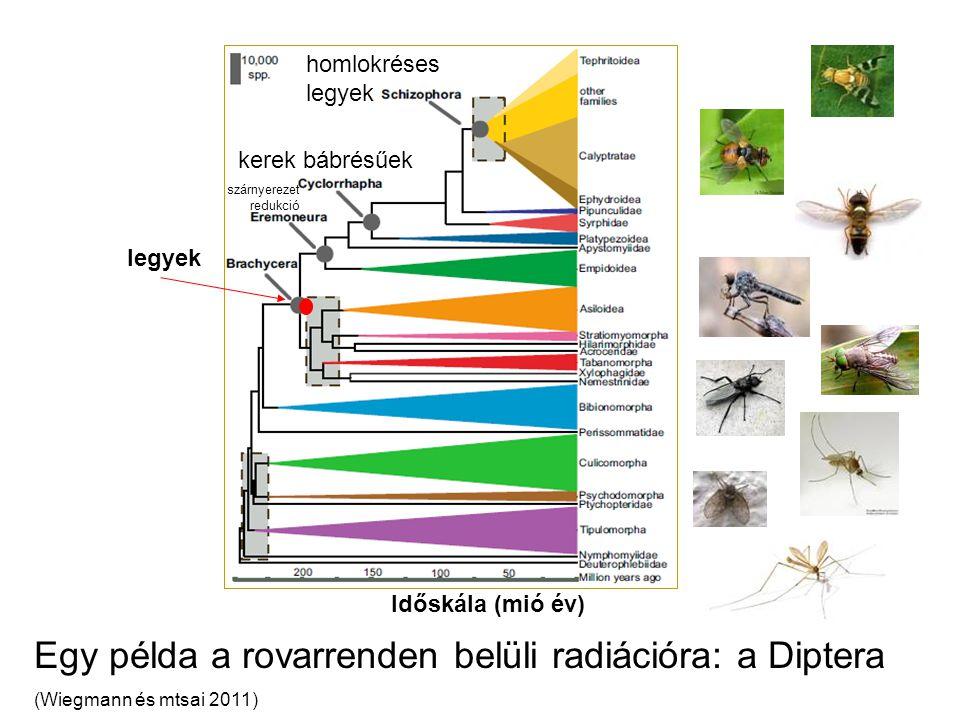 Egy példa a rovarrenden belüli radiációra: a Diptera (Wiegmann és mtsai 2011) legyek Időskála (mió év) kerek bábrésűek homlokréses legyek szárnyerezet