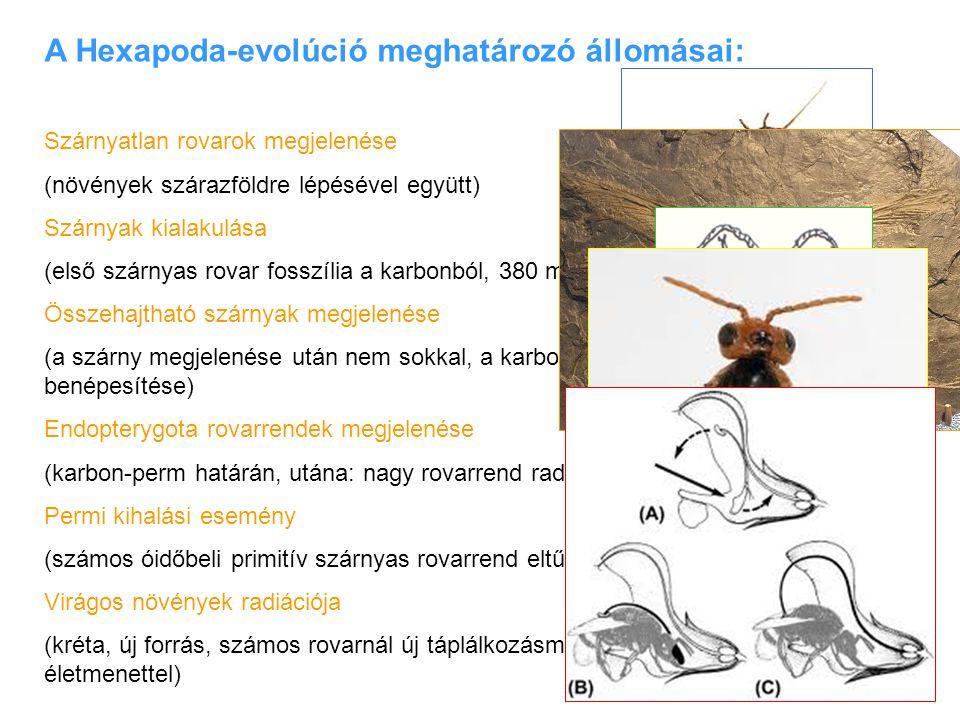 A Hexapoda-evolúció meghatározó állomásai: Szárnyatlan rovarok megjelenése (növények szárazföldre lépésével együtt) Szárnyak kialakulása (első szárnya