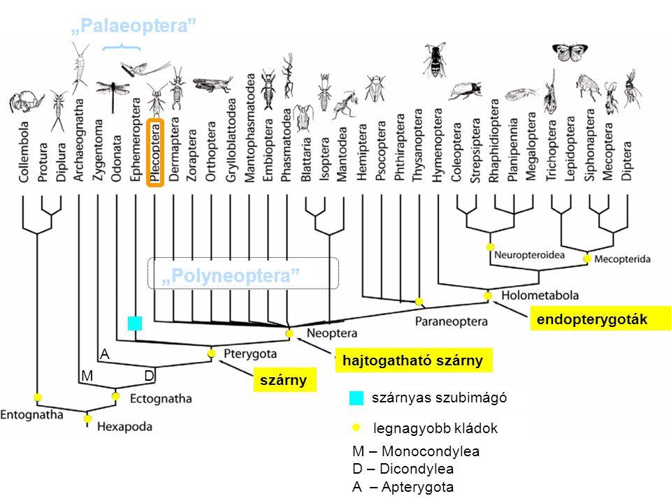 Egy példa a rovarrenden belüli radiációra: a Diptera (Wiegmann és mtsai 2011) legyek Időskála (mió év) kerek bábrésűek homlokréses legyek szárnyerezet redukció