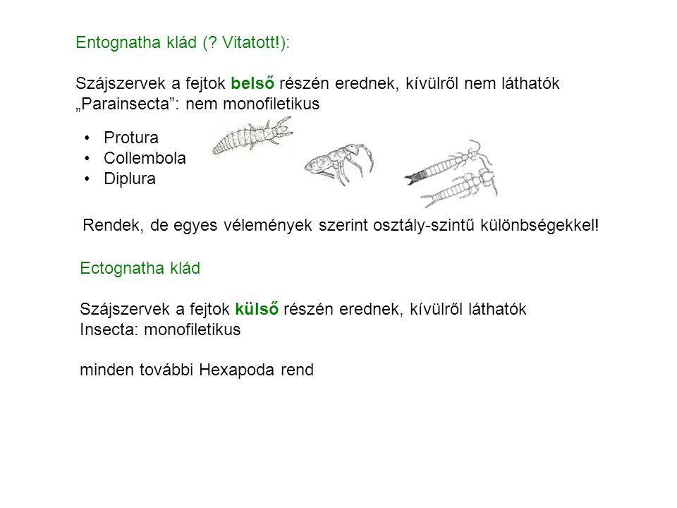 2 ízületi pont Dicondylea Monocondylea mandibula – fejtok: egy ízületi pont femur – tibia: egy ízületi pont femur – tibia: két ízületi pont mandibula – fejtok: két ízületi pont Ectognatha klád: Archaeognatha rendminden más rend alosztályok