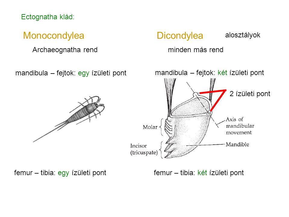 2 ízületi pont Dicondylea Monocondylea mandibula – fejtok: egy ízületi pont femur – tibia: egy ízületi pont femur – tibia: két ízületi pont mandibula
