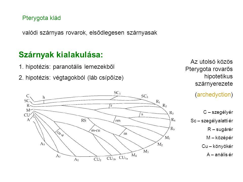 Szárnyak kialakulása: 1. hipotézis: paranotális lemezekből 2. hipotézis: végtagokból (láb csípőíze) Pterygota klád valódi szárnyas rovarok, elsődleges