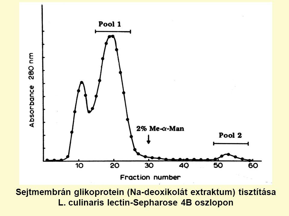 Sejtmembrán glikoprotein (Na-deoxikolát extraktum) tisztítása L. culinaris lectin-Sepharose 4B oszlopon