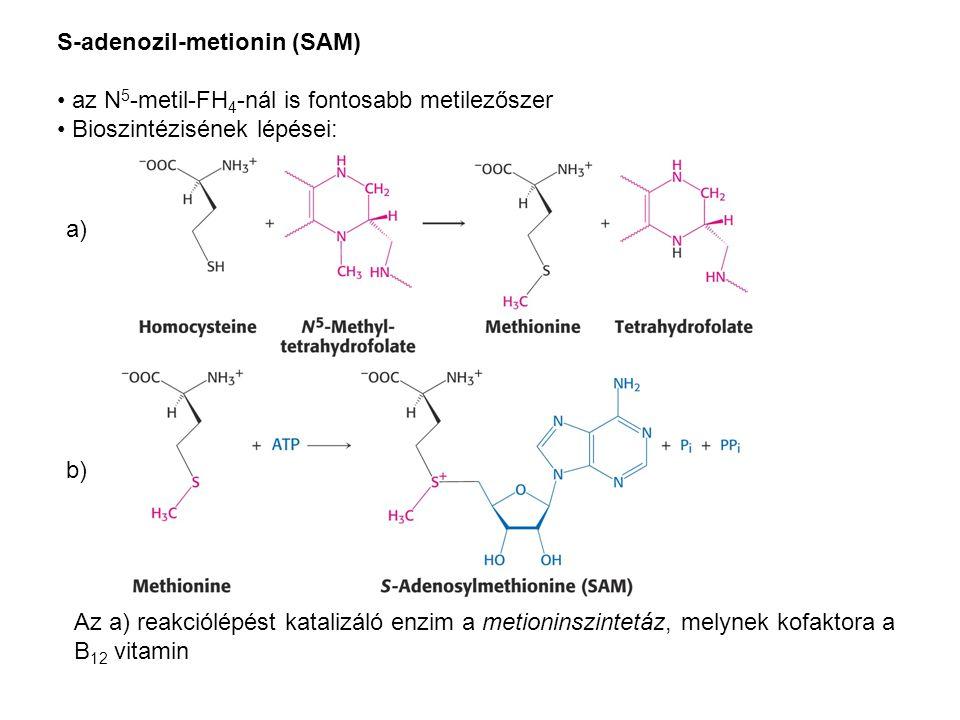 S-adenozil-metionin (SAM) az N 5 -metil-FH 4 -nál is fontosabb metilezőszer Bioszintézisének lépései: a) b) Az a) reakciólépést katalizáló enzim a met
