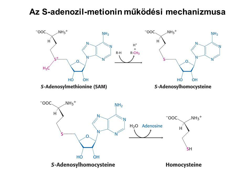 Az S-adenozil-metionin működési mechanizmusa