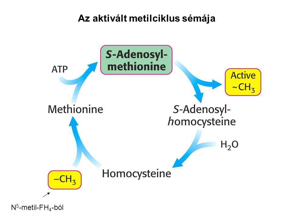 Az aktivált metilciklus sémája N 5 -metil-FH 4 -ból