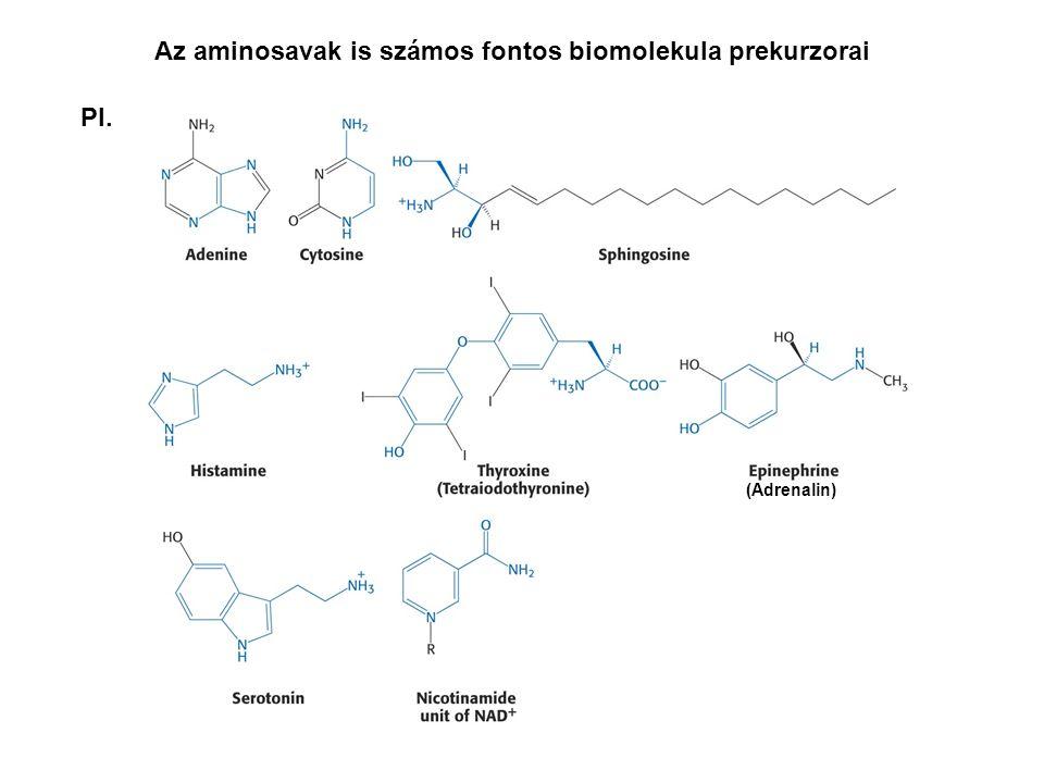 Az aminosavak is számos fontos biomolekula prekurzorai Pl. (Adrenalin)