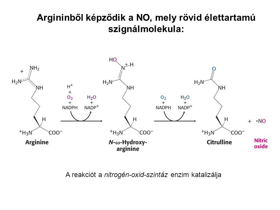 Argininből képződik a NO, mely rövid élettartamú szignálmolekula: A reakciót a nitrogén-oxid-szintáz enzim katalizálja