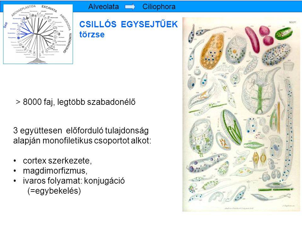 Oligohymenophorea osztály Tetrahymena pyriformis zöld papucsállatka – Paramecium bursaria a Peniculia alosztályba tartoznak a sokat tanulmányozott Paramecium (papucsállatka) fajok a Peritrichia alosztályba (szájkoszorús csillósok) erősen specializált, szesszilis élőlények (Vorticella – harangállatka fajok és rokonaik) az Astomatida és Apostomatida főként gerinctelenekkel együttélő fajokat tartalmaznak, szájmező nem alakul ki náluk a Hymenostomatia alosztályba tartoznak a citológiai vizsgálatok fontos modellszervezetei, a Tetrahymena fajok, ahol a sejtszájhoz három membranella vezet, testi csillózatuk rendszerint monokinetidákból áll Alveolata Ciliophora Oligohymenophorea a legnagyobb fajszámú csoport, számos alosztállyal a szájmezőt a testi csillózattól eltérő eredetű különféle szinciliumok változatos módozatai borítják
