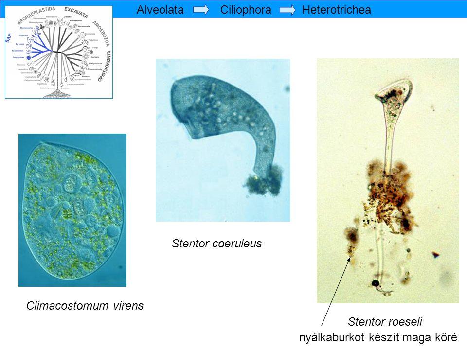 Stentor coeruleus Climacostomum virens Stentor roeseli nyálkaburkot készít maga köré Alveolata Ciliophora Heterotrichea