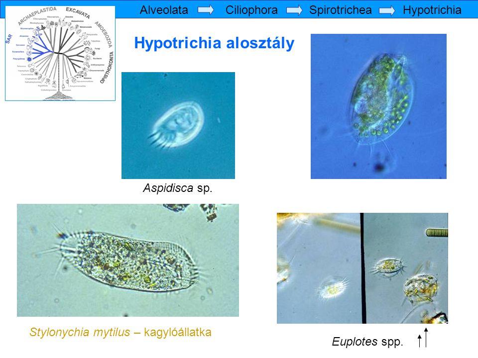 Hypotrichia alosztály Stylonychia mytilus – kagylóállatka Euplotes spp. Aspidisca sp. Alveolata Ciliophora Spirotrichea Hypotrichia