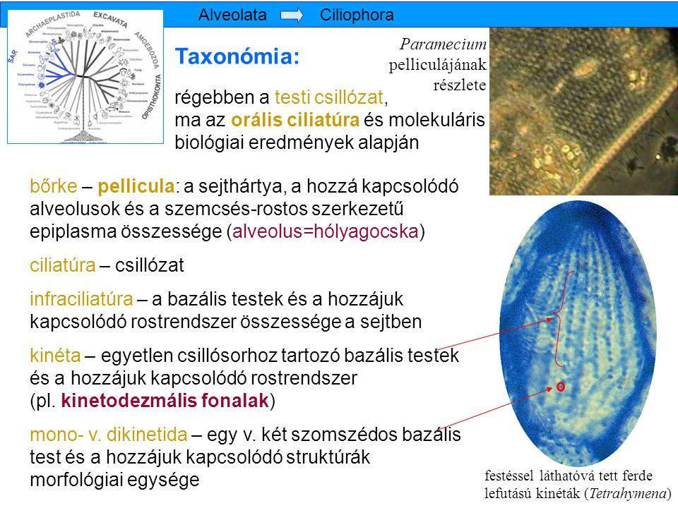 A szájkészülék (orális apparátus) alakulása különböző csillós csoportoknál varsaszáj Szájmező bemélyed, szinciliumok megjelenése Szincilium: vízörvény keltésére szolgáló csillószármazékok összefoglaló elnevezése Fajtái: sodróhártya (membranella) hullámzóhártya (membrana undulans) cirrusz Bonyolult szinciliumok változatos örvényszerveket hoznak létre Alveolata Ciliophora