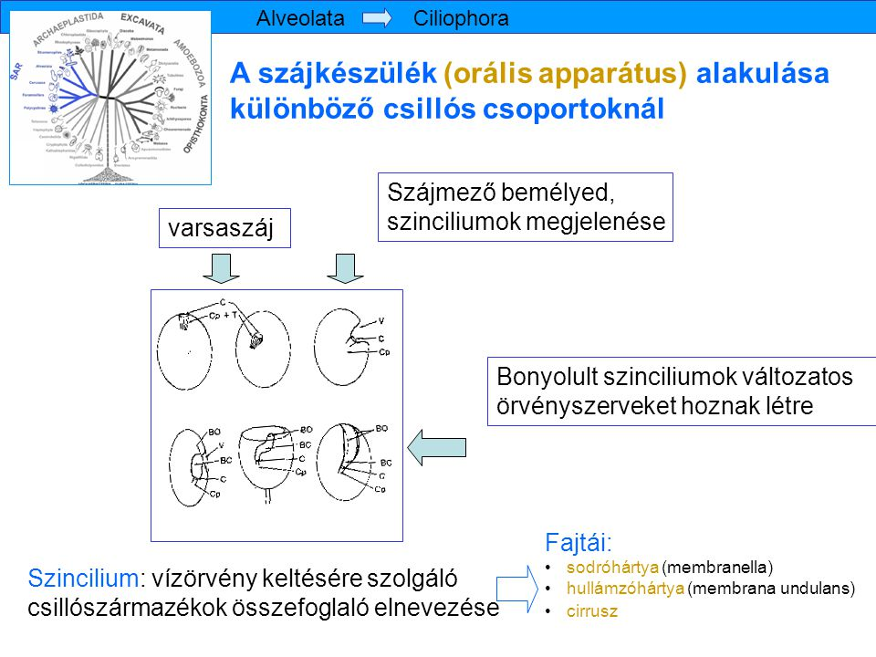 Metamonada törzs Giardia intestinalis Giardia intestinalis bélben tapadókorongok sejtmag ventrális barázda 4x2 ostor tölcsérszerű mélyedés, táplálékfelvétel Diplozoikus testfelépítés: két szimmetrikus félből áll Trichozoa altörzs Eopharyngia csoport van mitoszóma (univerzális mitokondrium erősen redukált származéka), kettős membrán határolja, nem történik benne oxidatív foszforiláció, nincs saját génállománya, mindent a sejtmag kódol szerepe: vas-kén klaszterek kialakításában Hausmann & al.