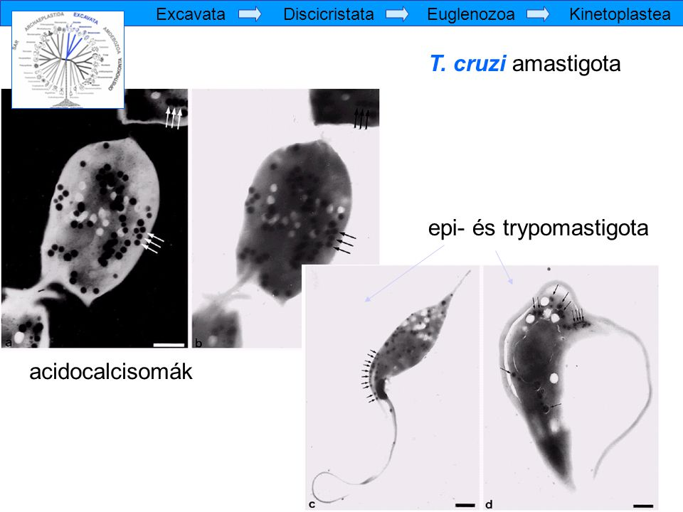 T. cruzi amastigota epi- és trypomastigota acidocalcisomák Excavata Discicristata Euglenozoa Kinetoplastea