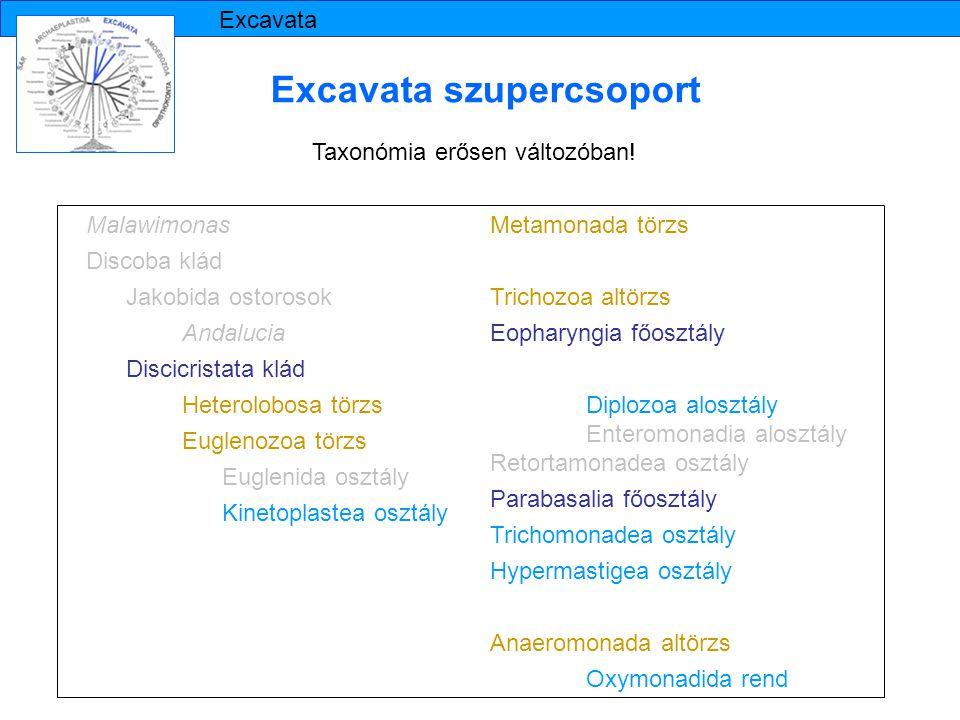 Excavata szupercsoport Taxonómia erősen változóban! Malawimonas Discoba klád Jakobida ostorosok Andalucia Discicristata klád Heterolobosa törzs Euglen