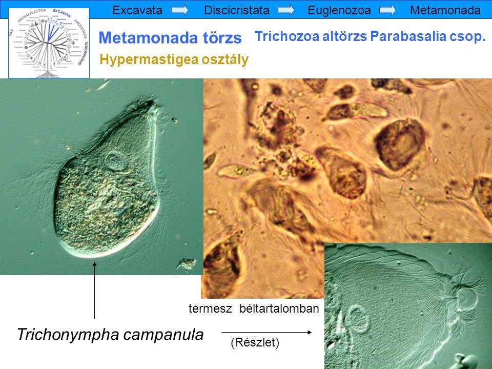 Trichonympha campanula (Részlet) Excavata Discicristata Euglenozoa Metamonada Metamonada törzs Trichozoa altörzs Parabasalia csop. Hypermastigea osztá