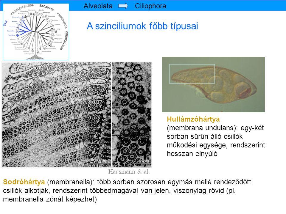 A szinciliumok főbb típusai Sodróhártya (membranella): több sorban szorosan egymás mellé rendeződött csillók alkotják, rendszerint többedmagával van j