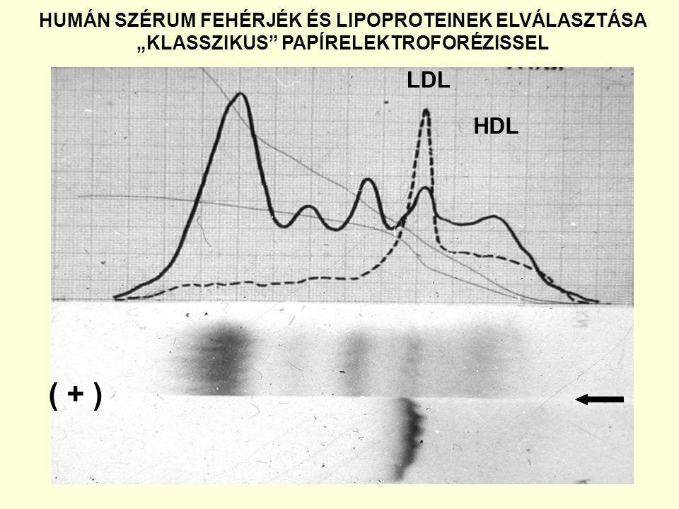 """HUMÁN SZÉRUM FEHÉRJÉK ÉS LIPOPROTEINEK ELVÁLASZTÁSA """"KLASSZIKUS"""" PAPÍRELEKTROFORÉZISSEL LDL ( + ) HDL"""