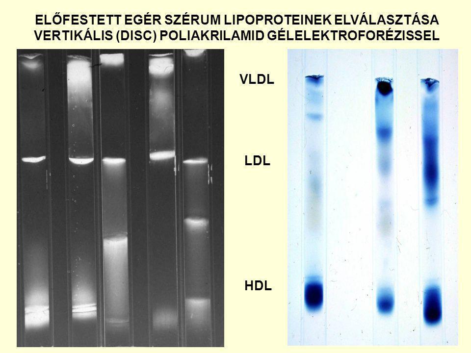 ELŐFESTETT EGÉR SZÉRUM LIPOPROTEINEK ELVÁLASZTÁSA VERTIKÁLIS (DISC) POLIAKRILAMID GÉLELEKTROFORÉZISSEL VLDL LDL HDL