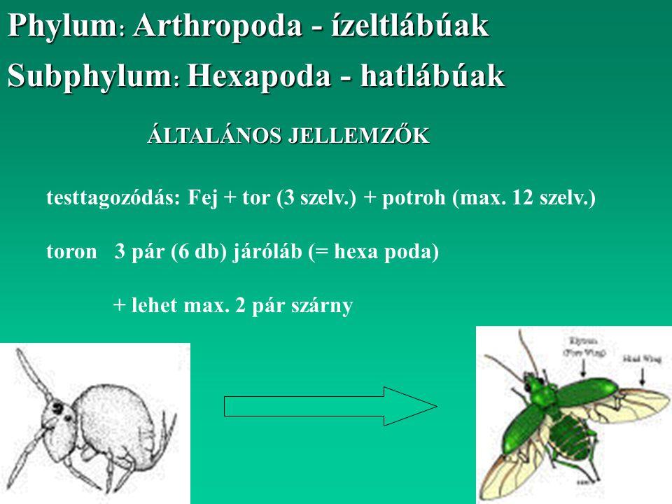 Subphylum : Hexapoda - hatlábúak ÁLTALÁNOS JELLEMZŐK testtagozódás: Fej + tor (3 szelv.) + potroh (max. 12 szelv.) toron 3 pár (6 db) járóláb (= hexa