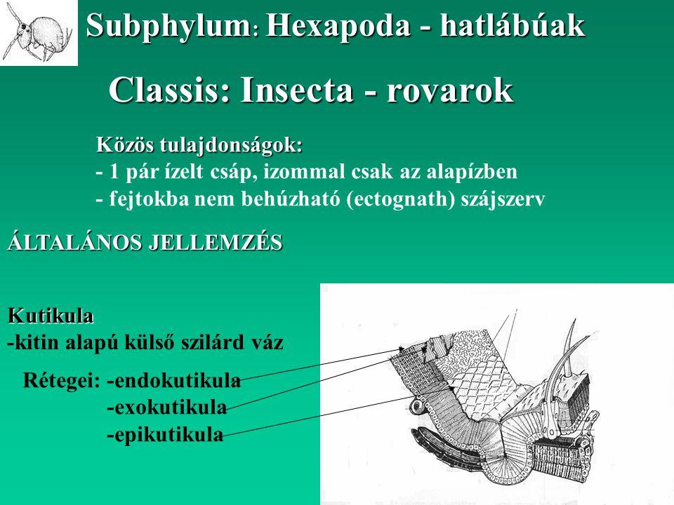 Classis: Insecta - rovarok Subphylum : Hexapoda - hatlábúak ÁLTALÁNOS JELLEMZÉS Közös tulajdonságok: - 1 pár ízelt csáp, izommal csak az alapízben - f