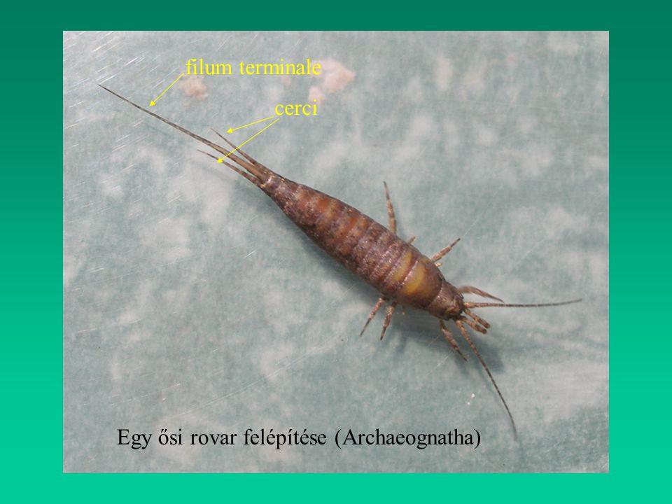 Egy ősi rovar felépítése (Archaeognatha) filum terminale cerci