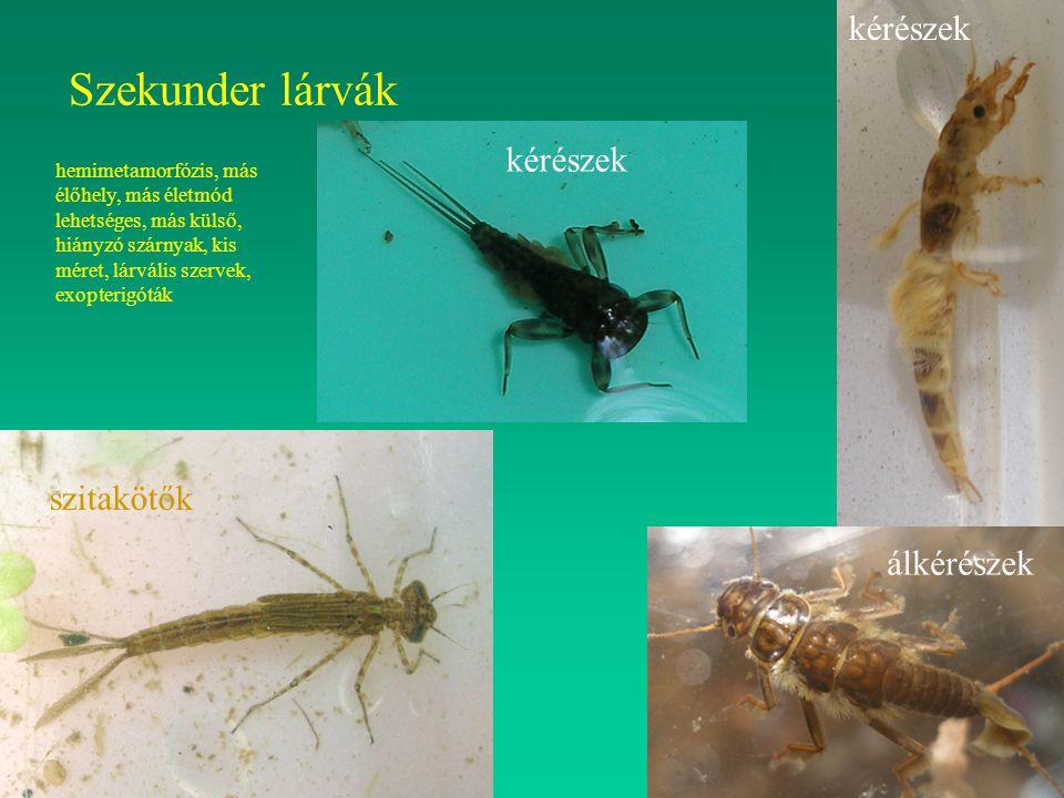 Szekunder lárvák szitakötők kérészek álkérészek hemimetamorfózis, más élőhely, más életmód lehetséges, más külső, hiányzó szárnyak, kis méret, lárváli