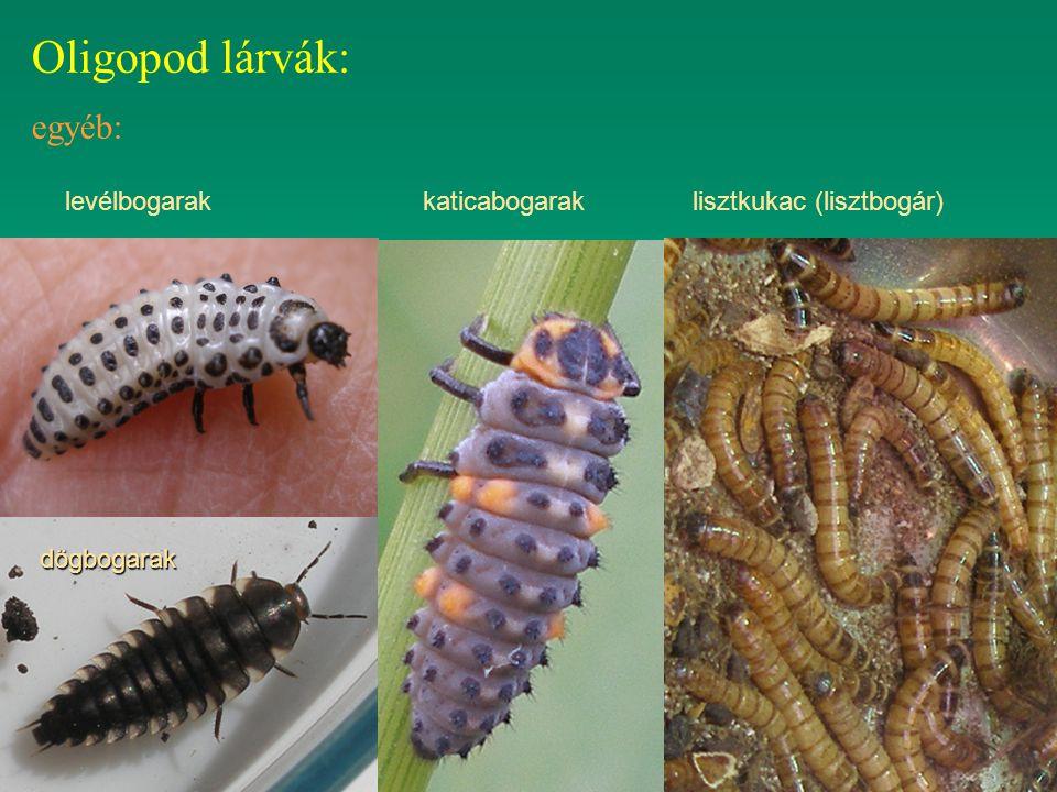 Oligopod lárvák: egyéb: lisztkukac (lisztbogár)katicabogaraklevélbogarak dögbogarak