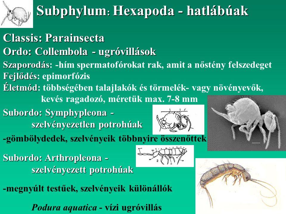Classis: Parainsecta Subphylum : Hexapoda - hatlábúak Ordo: Collembola - ugróvillások Szaporodás Szaporodás: -hím spermatofórokat rak, amit a nőstény
