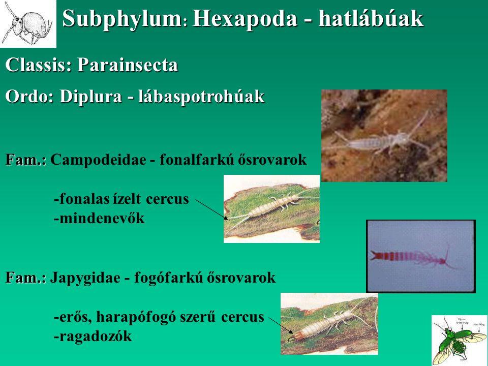 Classis: Parainsecta Subphylum : Hexapoda - hatlábúak Ordo: Diplura - lábaspotrohúak Fam.: Fam.: Campodeidae - fonalfarkú ősrovarok -fonalas ízelt cer