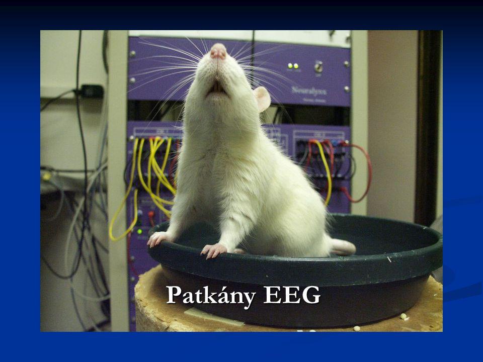 Patkány EEG