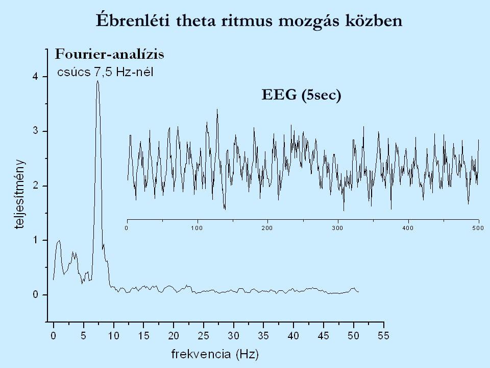 Ébrenléti theta ritmus mozgás közben EEG (5sec)