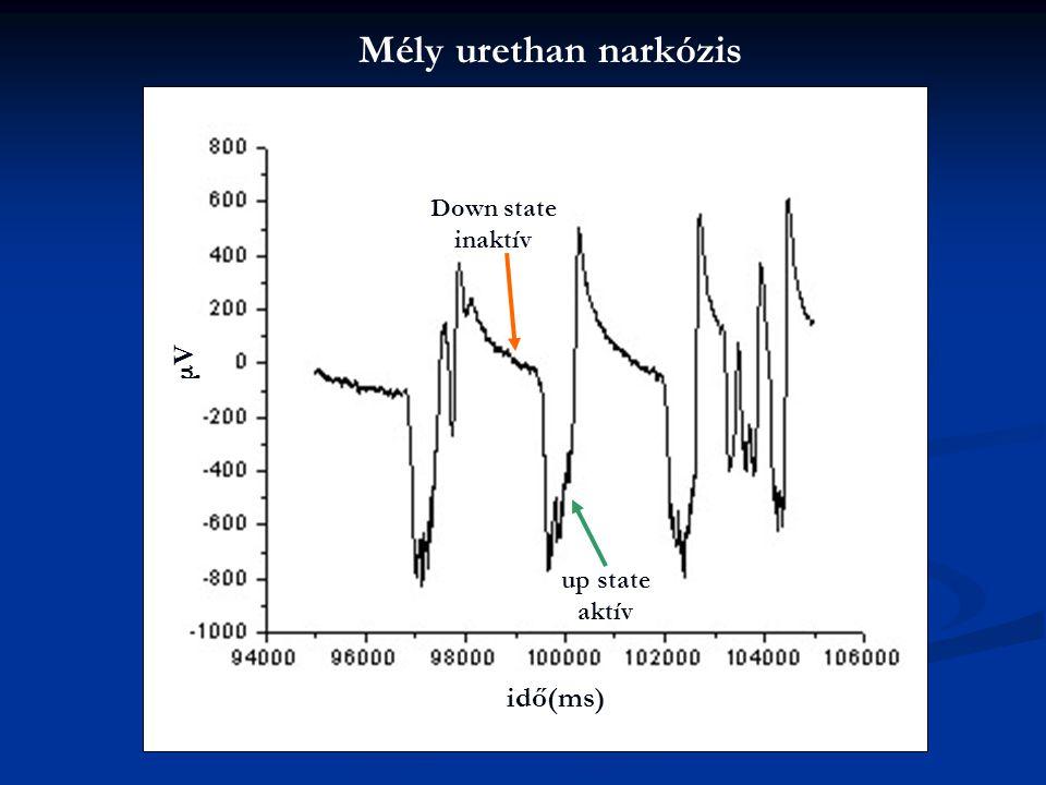 Mély urethan narkózis μVμV idő(ms) Down state inaktív up state aktív