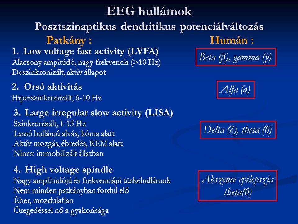 EEG hullámok Posztszinaptikus dendritikus potenciálváltozás 1.Low voltage fast activity (LVFA) Alacsony ampitúdó, nagy frekvencia (>10 Hz) Deszinkronizált, aktív állapot Humán : 2.