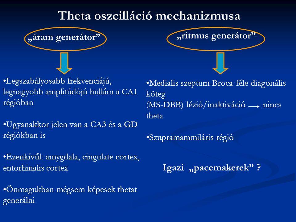 """Theta oszcilláció mechanizmusa """"áram generátor """"ritmus generátor Legszabályosabb frekvenciájú, legnagyobb amplitúdójú hullám a CA1 régióban Ugyanakkor jelen van a CA3 és a GD régiókban is Ezenkívűl: amygdala, cingulate cortex, entorhinalis cortex Önmagukban mégsem képesek thetat generálni Medialis szeptum-Broca féle diagonális köteg (MS-DBB) lézió/inaktiváció nincs theta Szupramammiláris régió Igazi """"pacemakerek ?"""