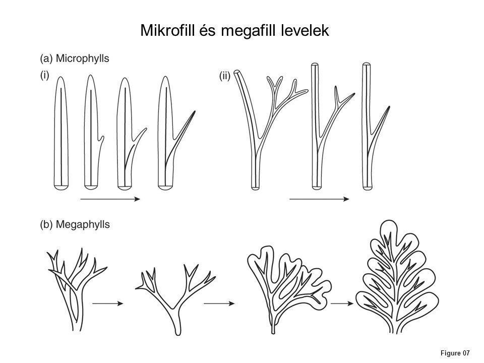 Figure 07 Mikrofill és megafill levelek