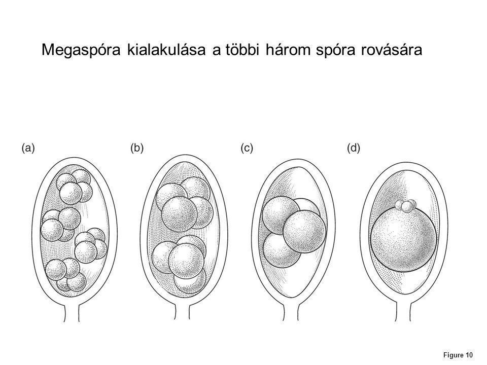 Figure 10 Megaspóra kialakulása a többi három spóra rovására